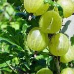 Агрус звичайний – лікувальні властивості