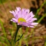 Айстра альпійська – лікувальні властивості