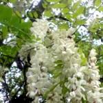 Акація біла – властивості та застосування