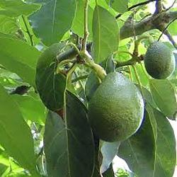 Авокадо рецепти