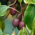Актинідія пурпурова – застосування та властивості