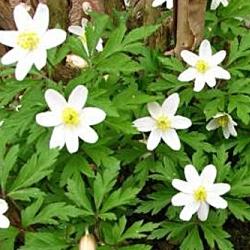 Анемона лісова – лікувальні властивості та хімічний склад