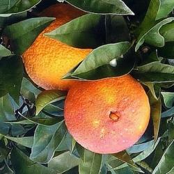 Апельсин властивості