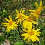 Арніка гірська – фармакологічні властивості та рецепти