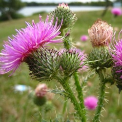 Артишок посівний – застосування та лікувальні властивості
