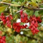 Барбарис звичайний – застосування та лікувальні властивості
