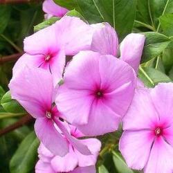 барвінок рожевий застосування