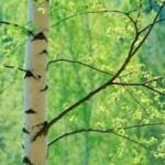 Береза біла пухнаста – лікувальні властивості та рецепти