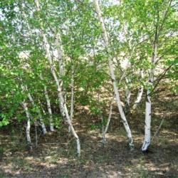 Береза дніпровська – лікувальні властивості та препарати