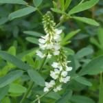 Буркун білий – лікувальні властивості та застосування