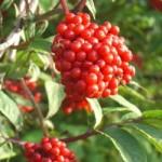 Бузина червона – застосування та фармакологічні властивості