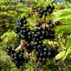 Бузина чорна – фармакологічні характеристики та рецепти