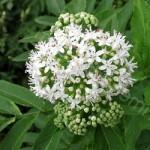 Бузина трав'яниста – властивості та рецепти