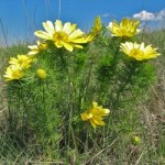 Горицвіт весняний (адоніс) – способи приготування та властивості