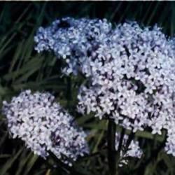 рослина валеріана бузинолиста