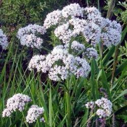 рослина валеріана лікарська