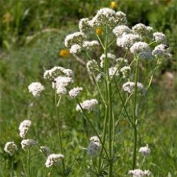 трава валеріана пагорбова