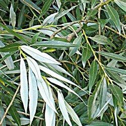рослина верба біла