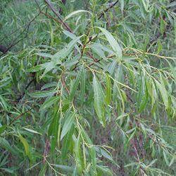 рослина верба гостролиста
