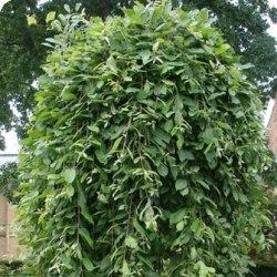 рослина верба козяча