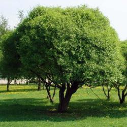 рослина верба ламка