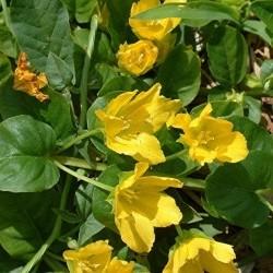 Вербозілля лучне – лікувальні властивості та рецепти