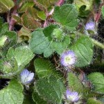 Вероніка плющолиста – хімічний склад та лікувальні властивості