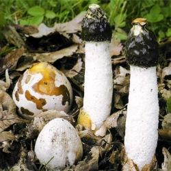 гриб веселка звичайна