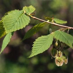дерево в'яз властивості