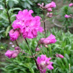 рослина віскарія звичайна