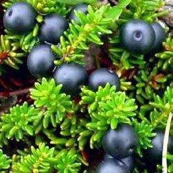 Водянка чорна – лікувальні властивості та хімічний склад