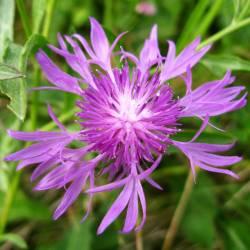квітка волошка лучна