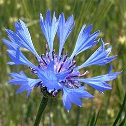 Волошка синя – властивості та лікування