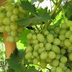 Виноград культурний – властивості та хімічний склад