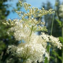 рослина гадючник звичайний