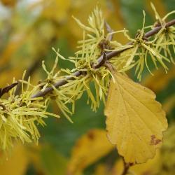 рослина гамамеліс опис