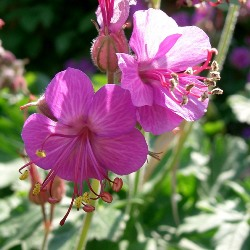 Герань великокореневищна як лікарська рослина
