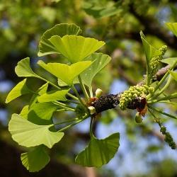 дерево гінкго білоба