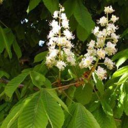 гіркокаштан звичайний рослина