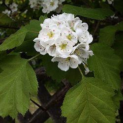 рослина глід шарлаховий