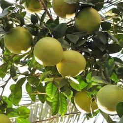 рослина грейпфрут опис