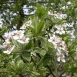 Груша маслинколиста – застосування в народній медицині