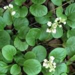 Грушанка круглолиста – хімічний склад та лікувальні властивості