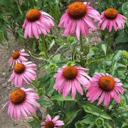 Ехінацея пурпурова – фармакологічні властивості