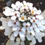Іберійка гірка – властивості рослини та хімічний склад