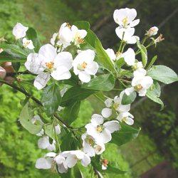 яблуня лісова характеристики