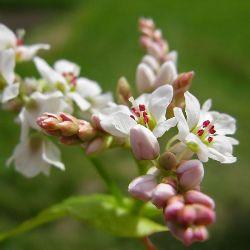 рослина гречка звичайна