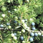 Ялівець козачий – властивості та використання