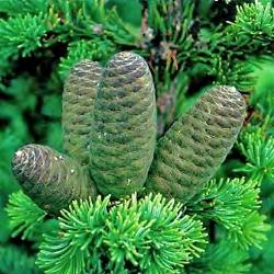 ялиця сибірська опис рослини