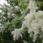Ясен білоцвітний – фармакологічні властивості та хімічний склад